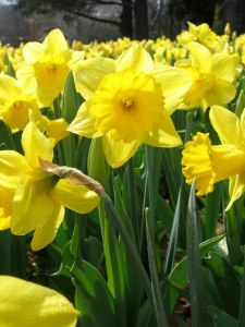 yellow_daffodils_-_floriade_canberra1